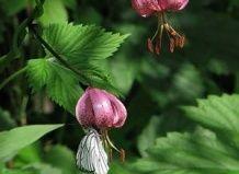 У черняєвській лісі ростуть червонокнижні квіти