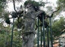 У Малайзії виявлено дерево, вік якого перевищує тисячу років
