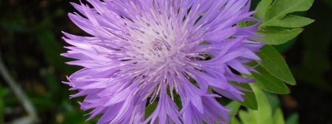 Волошка гірський: опис, розмноження, догляд, посадка, застосування в саду, фото, сорти і види