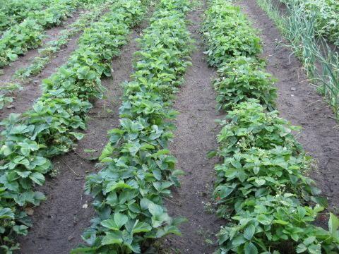 Вирощування полуниці з насіння