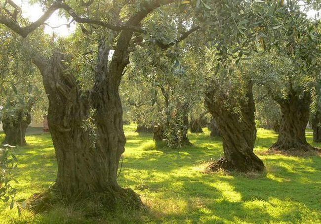 Вічнозелене дерево олива