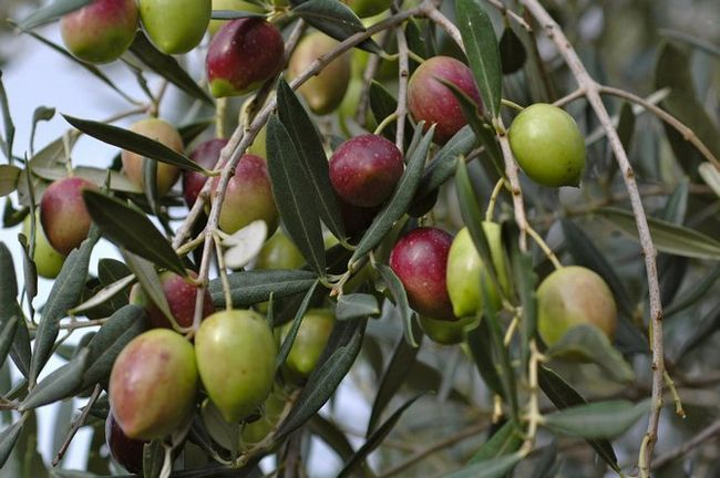 Дерево олива. Фото рослини, плоди, квіти і листя оливи або маслини