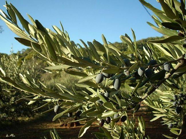 Де росте рослина олива?