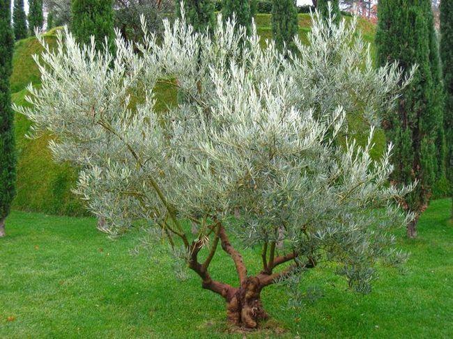 Як самому вирощувати дерево олива в саду