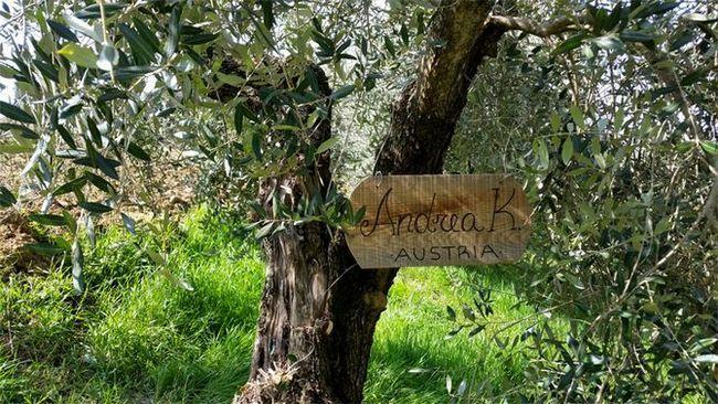 Середня тривалість зростання маслини - близько п`ятисот років