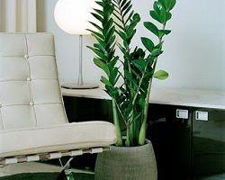 Вічнозелений замиокулькас: догляд і секрети вирощування