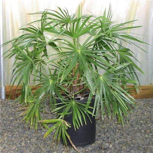Віялова пальма для декорації офісів