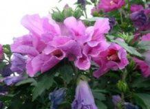 Весняна обрізка садового гібіскуса