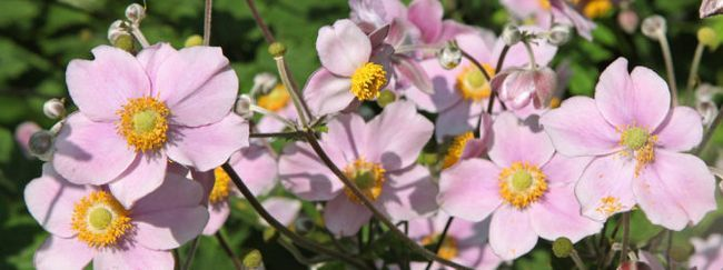 Анемона: опис, розмноження, догляд, посадка, застосування в саду, фото, сорти і види