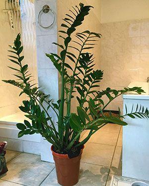 Діаметр горщика повинен бути всього на кілька сантиметрів більше бульби рослини