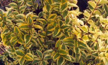 Види бирючини желтолістние
