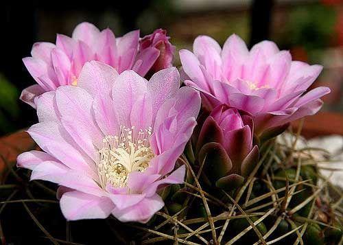 гимнокалициума кактуси