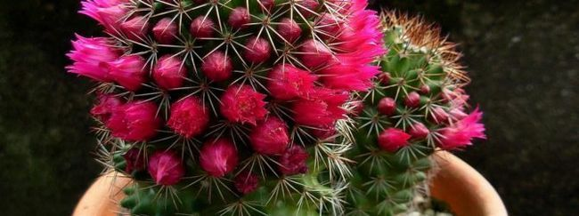 Види кактусів: пустельні кактуси, кактуси гір, травіністих рівнин, сухих і вологих лісів