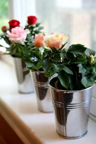 Види кімнатних троянд на фото у вашому домі
