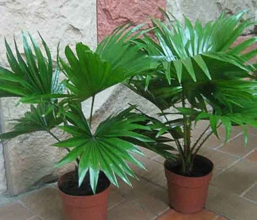 Види пальм для кімнатного вирощування