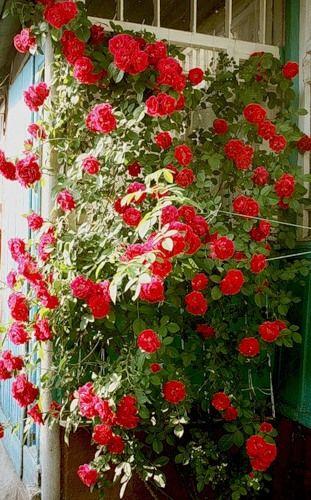 Кучерява троянда на фото