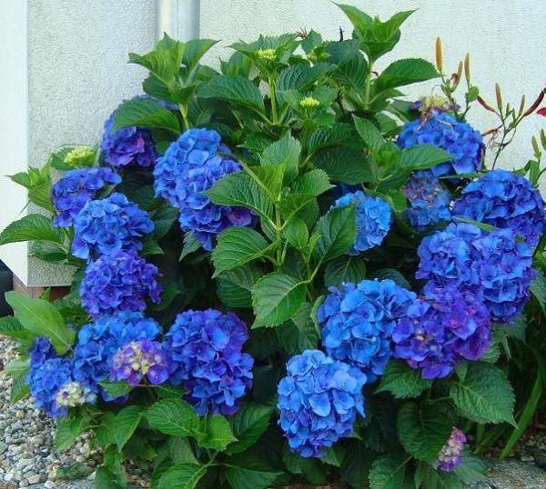 Hydrangea сорти Nikko Blue