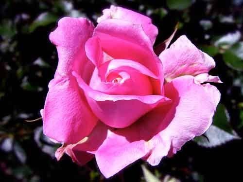Фото троянди Sexy Rexy