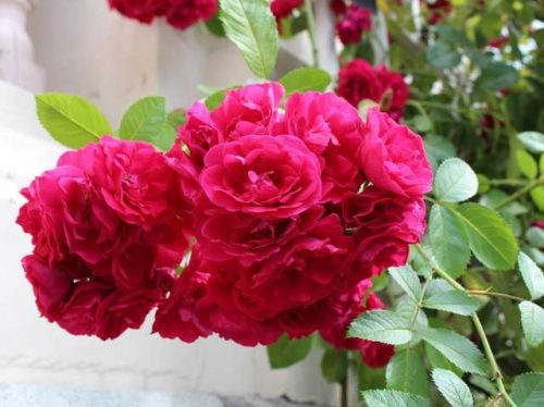 троянди Flammentanz
