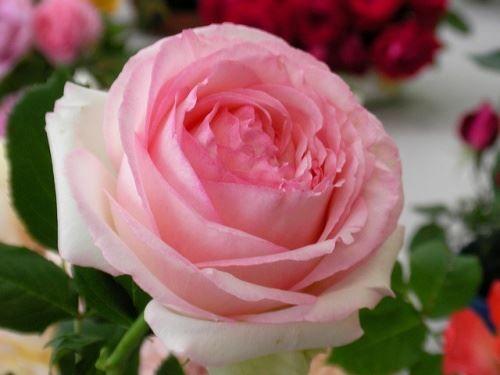 Чари садової троянди на фото і картинках