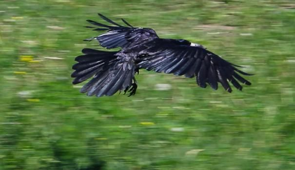 Воронам в саду не місце