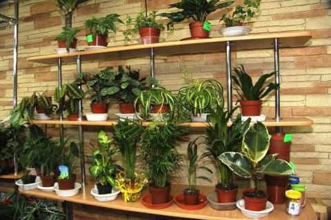 Шкода і користь кімнатних лікарських рослин