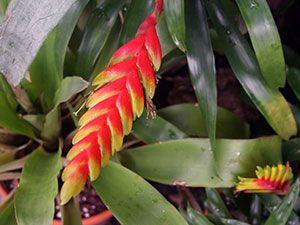 рослина вриезия