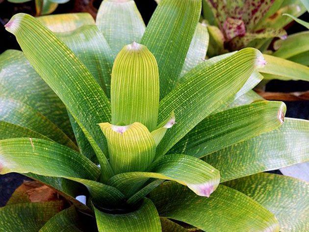 Вріезія продірявлена (Vriesea fenestralis)