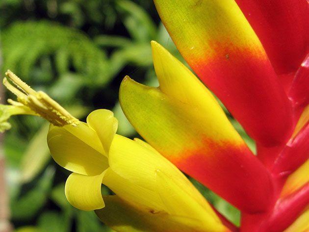 цвітіння вриезии