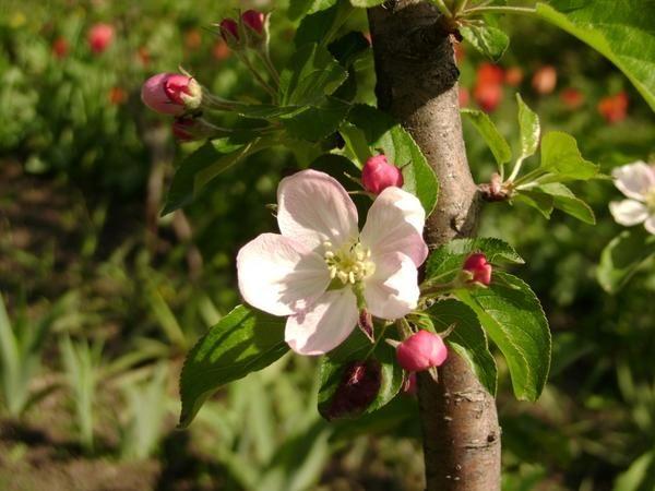 Все про посадку плодових дерев вибираємо саджанець вибираємо час посадки