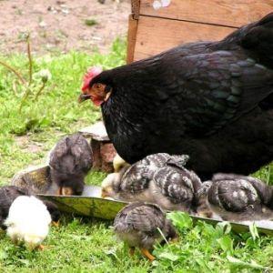 Вирощування під контролем мами-квочки