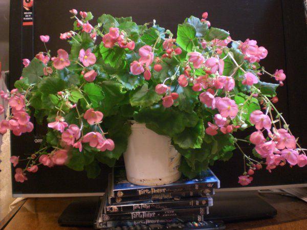 Друге цвітіння бегонії лоррейн