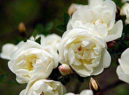Вибираємо сорт: білі троянди