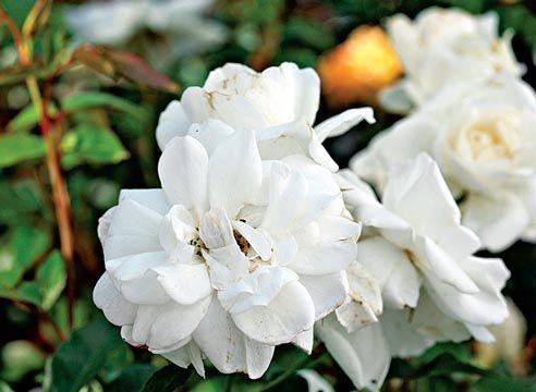 Роза групи флорибунда, сорт Iceberg
