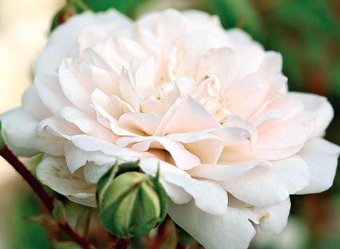 Троянда грунтопокривна, сорт Swany