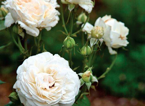 Роза чайно-гібридна, сорт Sebastian Kneipp