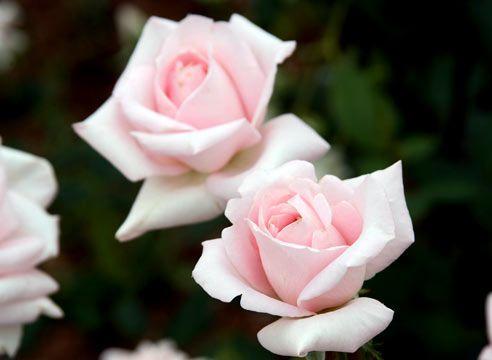 Роза чайно-гібридна, сорт Marchenkonigin