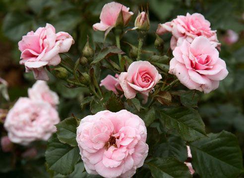 Роза групи шрабов, сорт Dornroschen-Sababury