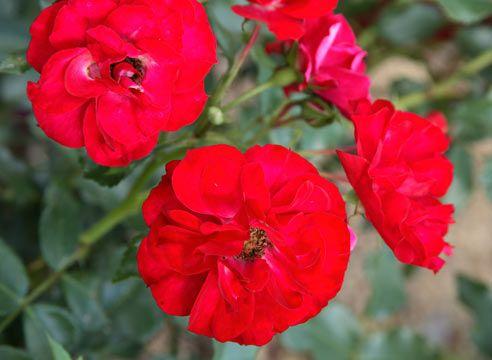 Троянда флорибунда, сорт Rotilia
