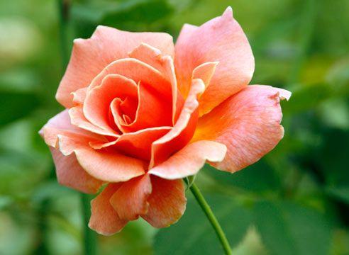 Роза, чайно-гібридна група, сорт Tip-Toes