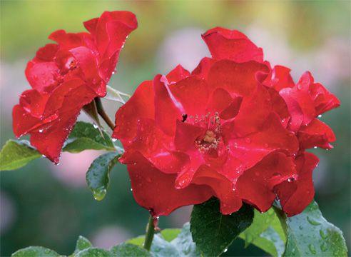 Роза Ruffles