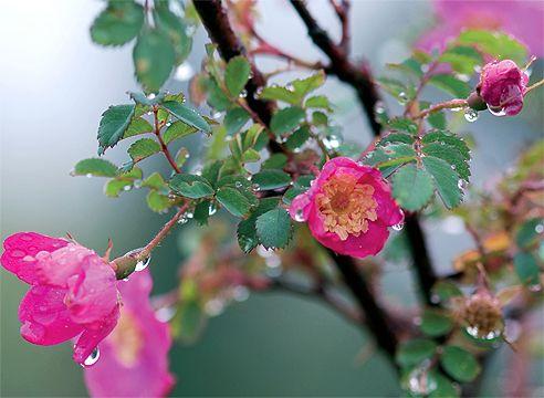 Роза під дощем