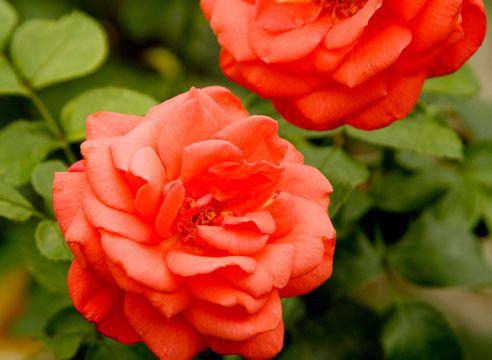 Роза чайно-гібридна, сорт Focus