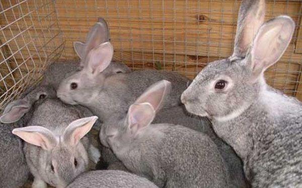 Вигідно чи ні розведення кроликів як домашній бізнес