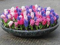 Вигонка цибулин (цибулинних квітів