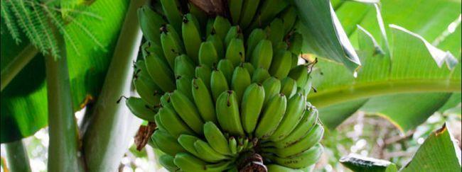 Вирощуємо банан з насіння