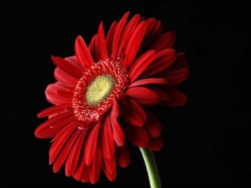 Вирощуємо гербери - секрети успіху