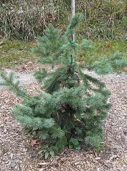 Озеленення саду і присадибної ділянки ялинками