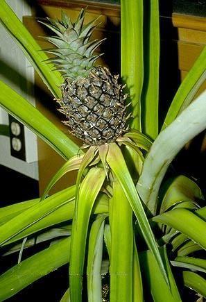 Вирощуємо кімнатний ананас