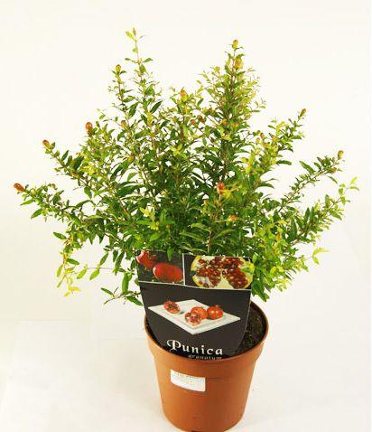 Вирощуємо рослина гранат з насіння будинку